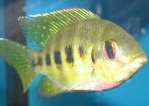 Spotted Mangrove Cichlid