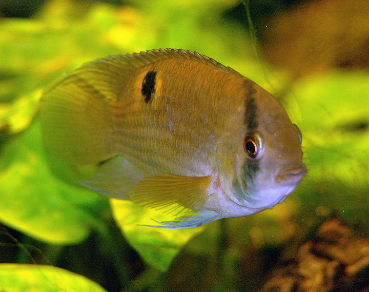 5 most non aggressive cichlids land of fish for Large peaceful community fish
