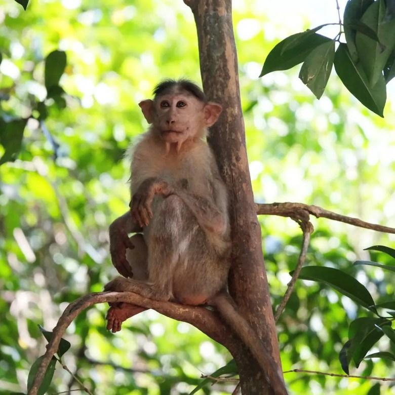 Bonnet macaque in Goa