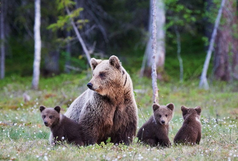 Mummy bear and her three little puppies