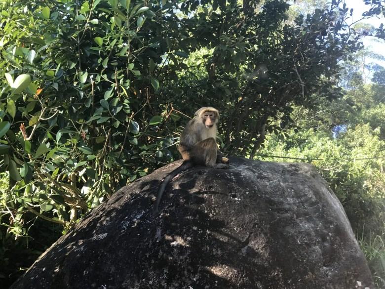 Toque macaque near Adam's Peak, Sri Lanka