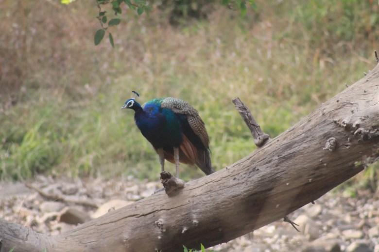 Peacock, Ranthambore National Park, India