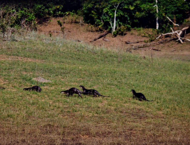 Asian short-clawed otters in Periyar National Park