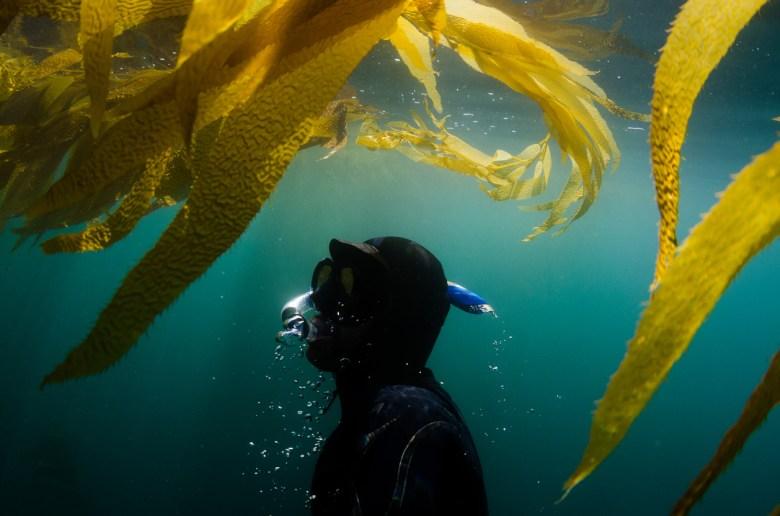 Diver underwater surfacing towards seaweed