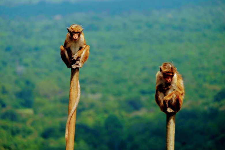 Bonnet macaques in Sigiriya, Sri Lanka