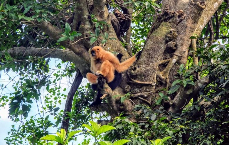 Southern white-cheeked gibbon, Cuc Phuong National Park, Vietnam