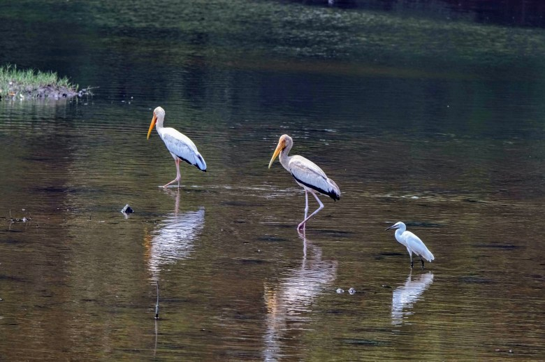 Painted storks and egret, Sungei Buloh, Singapore