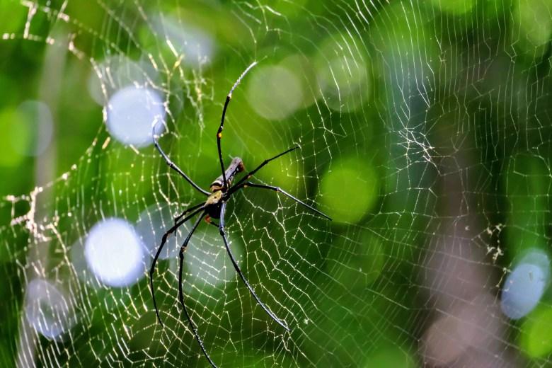 Golden orb web spider, MacRitchie Reservoir, Singapore