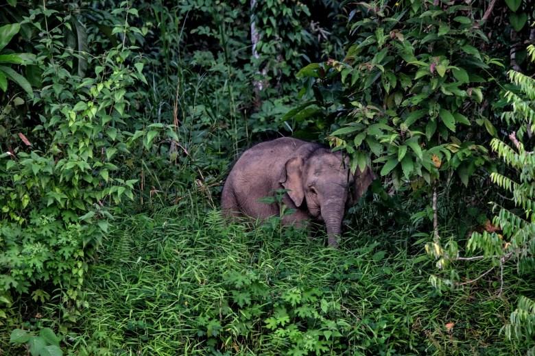 Young pygmy elephant, Kinabatangan River, Borneo