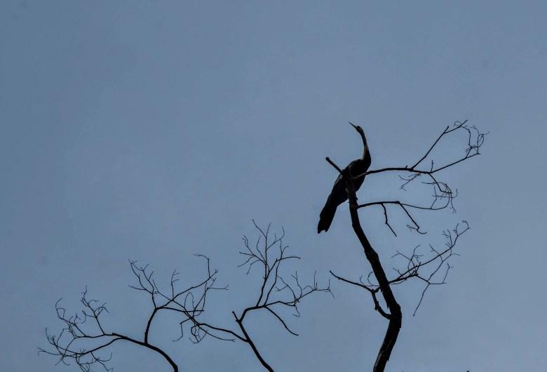 Snakebird, Kinabatangan River, Borneo
