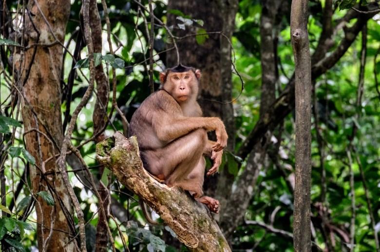 Pig-tailed macaque, Kinabatangan River, Borneo