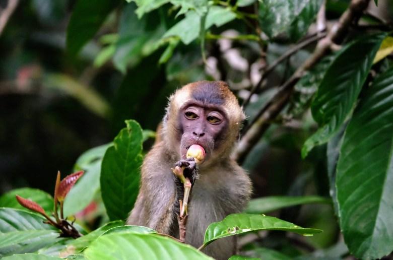 Long-tailed macaque, Kinabatangan River, Borneo