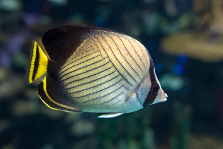 Threadfin butterflyfish, iStock