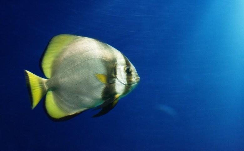Circular spadefish (batfish), iStock