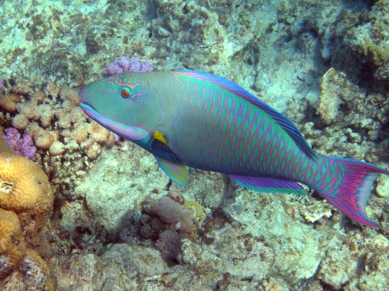 Bicolour parrotfish, iStock