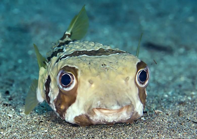Porcupine pufferfish, iStock