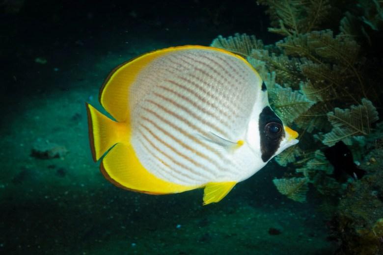 Panda or Philippine butterflyfish, iStock