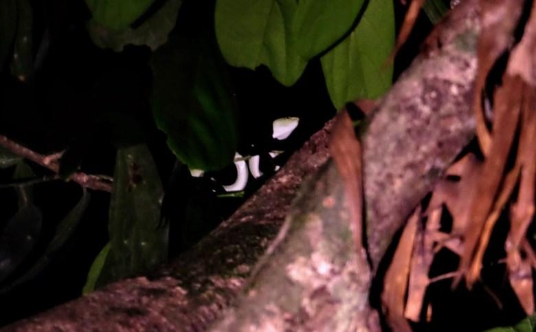 Viper, Sepilok, Borneo