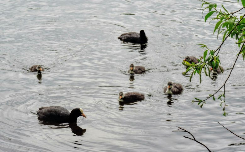 Coot with chicks, Sale Water Park, Manchester