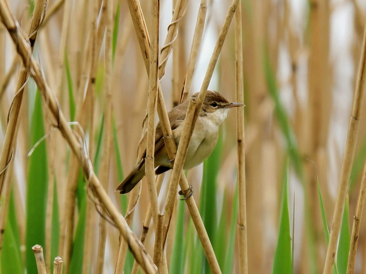 Reed warbler in Sale Water Park. Manchester