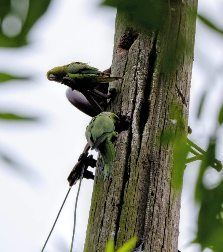Ring-necked parakeets nesting in a telegraph pole