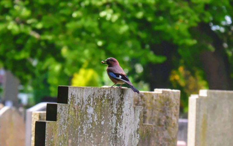 Jay in Southern Cemetery in Manchester