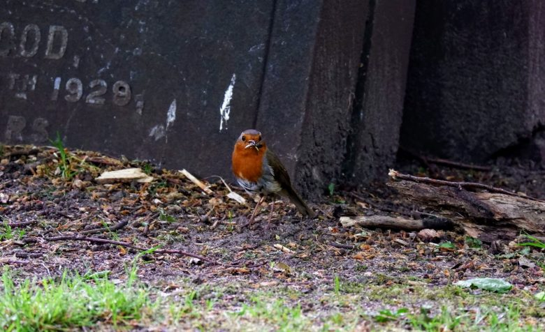 Robin in Southern Cemetery in Manchester