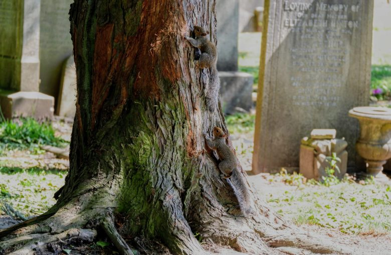 Baby squirrels in Southern Cemetery, Manchester