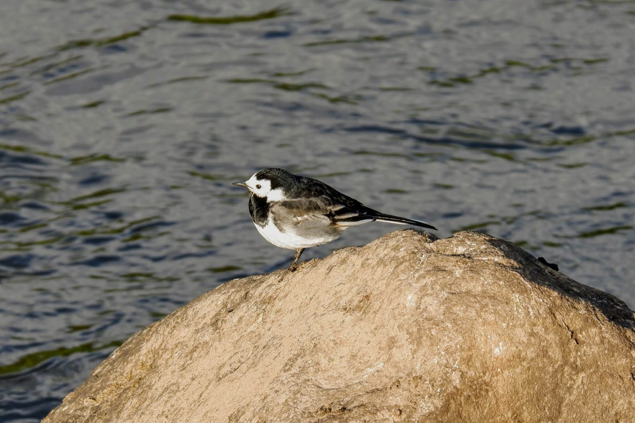 Pied wagtail on the River Mersey, Chorlton