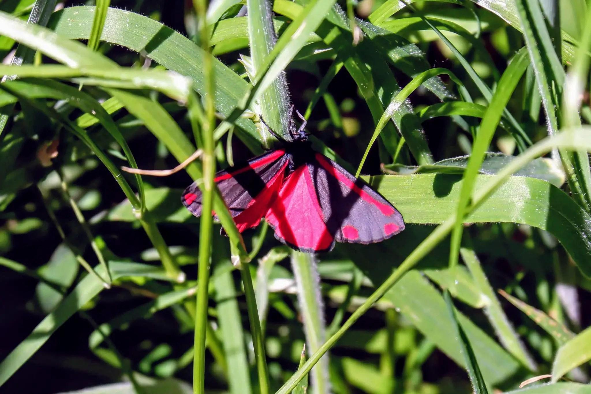 Cinnabar moth, Merseybank Estate, Manchester