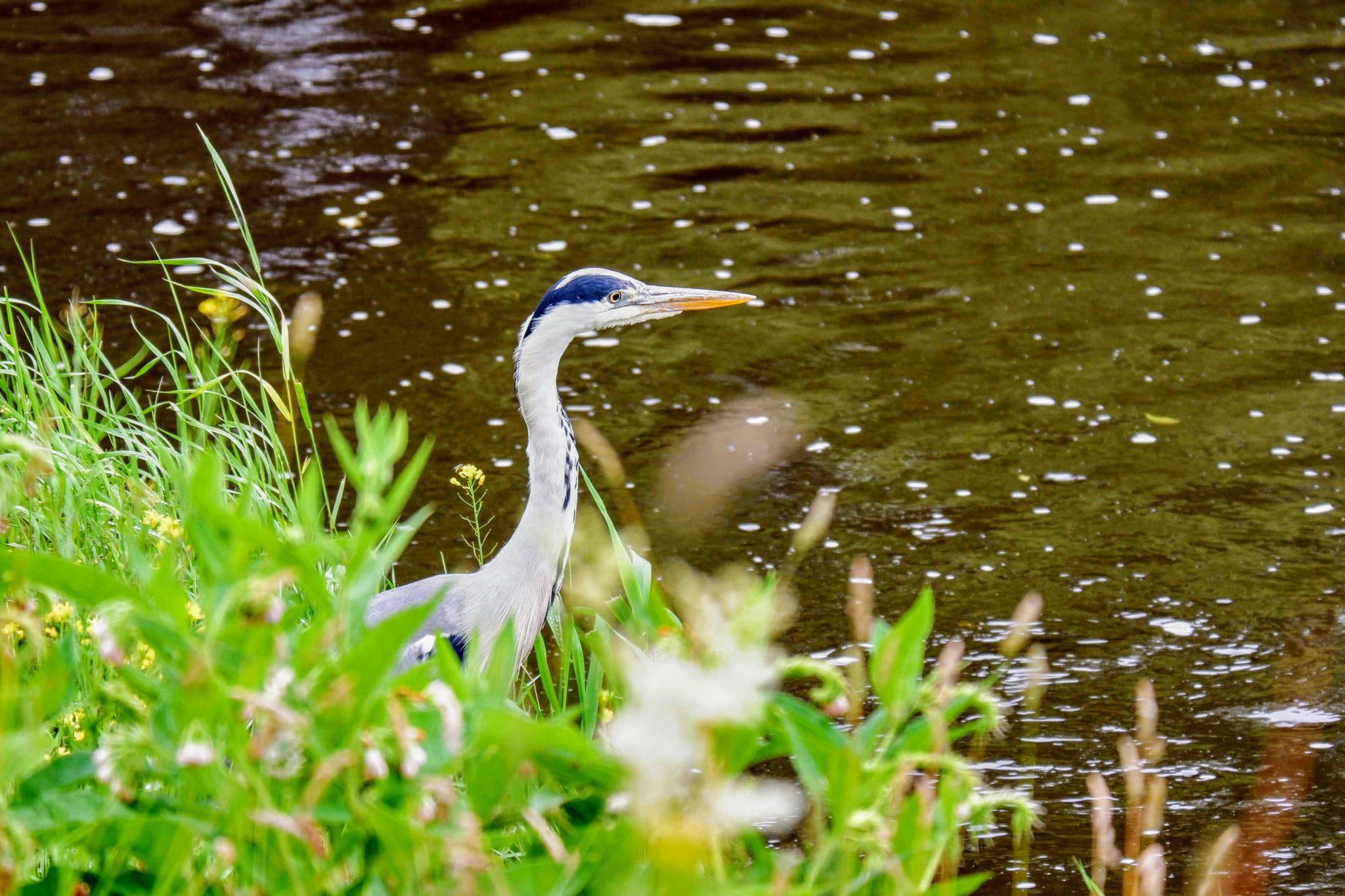 Grey heron, River Mersey, Chorlton