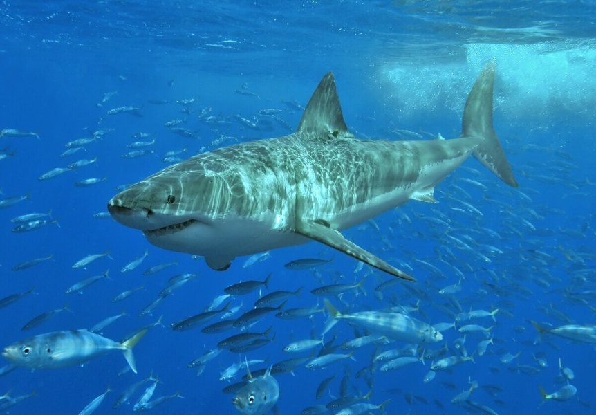 An image of a great white shark swimming with other fish