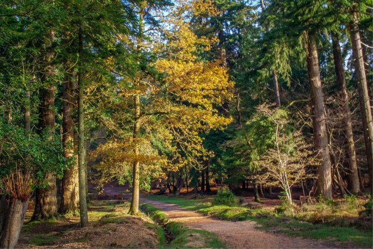 A picture of the woodland path in New forest England