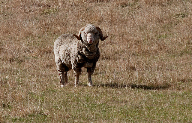 An image of the Merino sheep from New Zealand