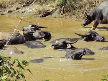Suhlende Wasserbüffel