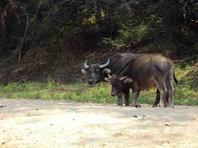 Neugierige Wasserbüffel