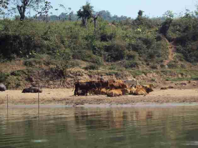 Kühe am Ufer