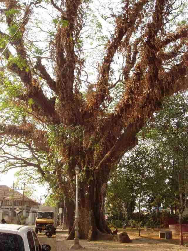 Old tree in Kochi
