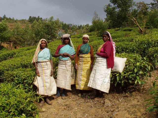 Women working on the tea fields