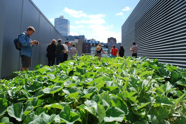 The Ryerson University Rooftop Farm and its squash bloom.