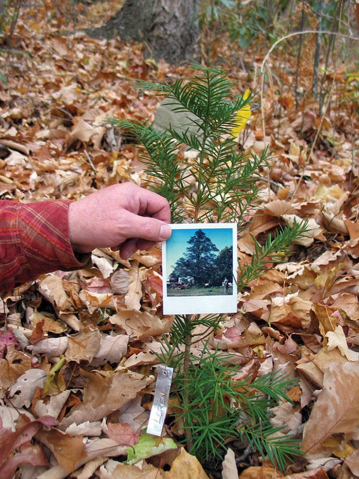 A torreya sapling growing in North Carolina and a photograph of its parent tree.