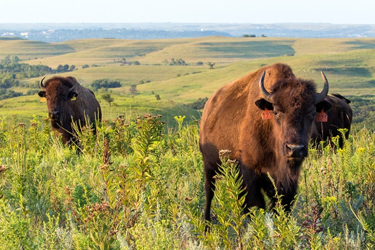 Bison roam freely at Konza Prairie near Manhattan, Kansas. Credit: Noppadol Paothong.