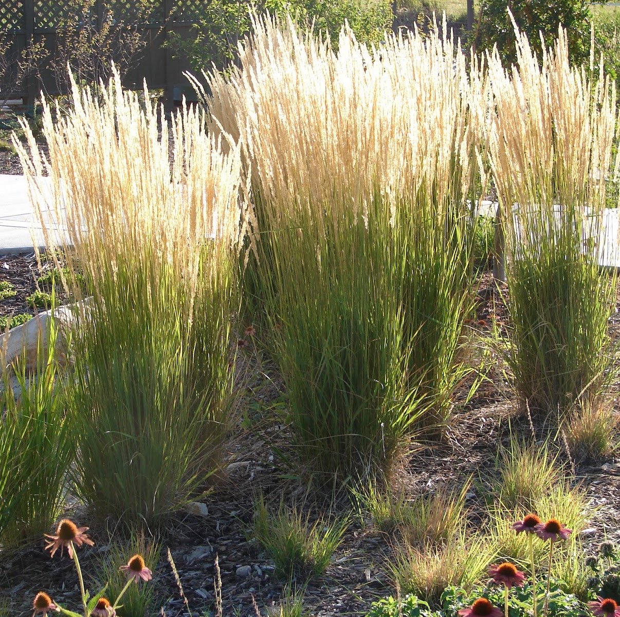 Ornamental Grass Landscape Solutions Amp Maintenance