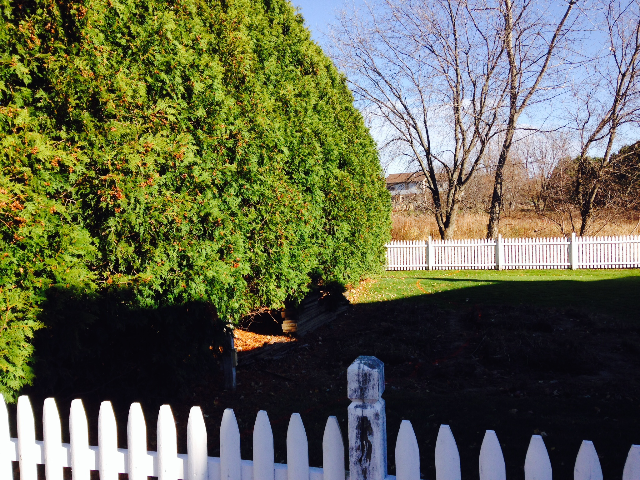 This overgrown hedge in Williston was beyond rejuvenative pruning and was rotting the client's fence