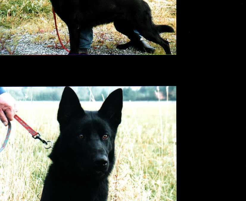 July 27, 2003-German Shepherd SchH Club-WA