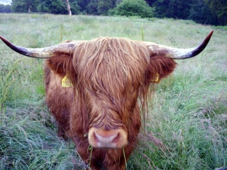 Image of Aberdeen Angus for Lands End to John O'Groats - My End to End