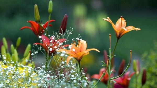 Лилии: как посадить нежный и капризный цветок дома и в ...