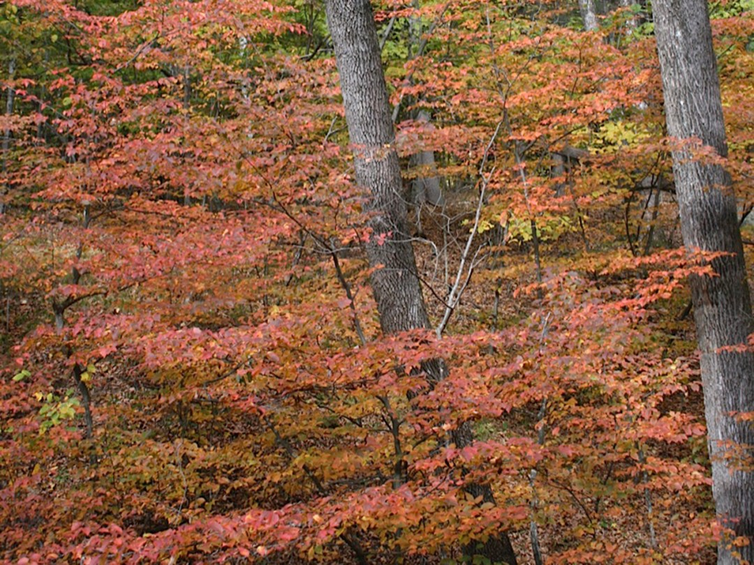 Native plant : beech