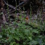 Edible and Medicinal Plants: Lobelia