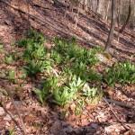 Edible and Medicinal Plants: Ramps